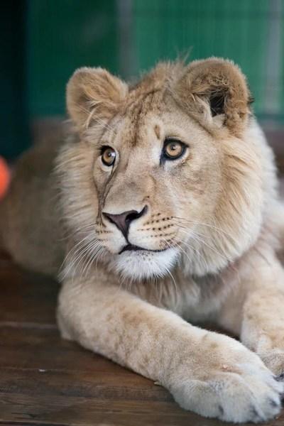 不過,辛巴在俄羅斯接受醫療護理後已康復,現在是一頭美麗驕傲的雄獅,將重返其在非洲的自然棲息地生活。所有費用均由俄羅斯銅業公司支付。